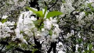 Видеосопровождение к песне Когда сады цветут(футажи, видео для монтажа и визуальное сопровождение различных мероприятий., 2017-03-01T07:26:12.000Z)