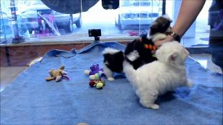 Shih Tzu And Maltese Puppies For Sale In Boca Raton