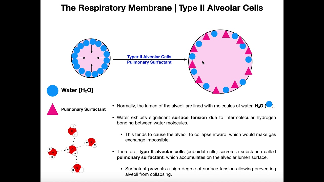Tüdő alveoli férgek