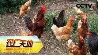 《农广天地》 20190528 女承父业去养鸡| CCTV农业