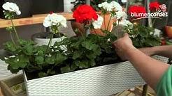 Geranien - Einpflanzen in einen Balkonkasten
