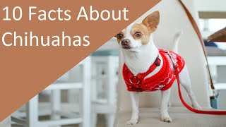 10 Facts About Chihuahua Dog Breed (dogs 101)