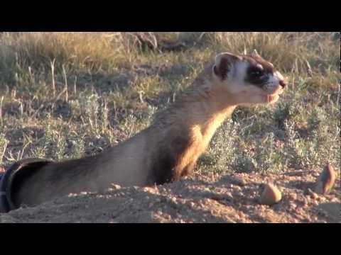 Black-footed Ferret Conservation.mpg