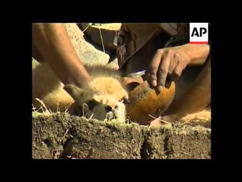 Annual festival of shearing of lama-like animal