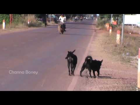 Happy Holiday Street Dogs Black Pharaoh Hound Meeting Portuguese Podengo Pequeno On the Chreav Road