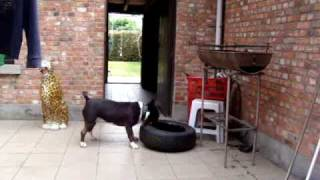 Bull Terrier Spike Strongest Dog Of The World