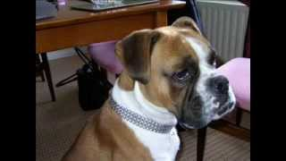 Northern Ireland Boxer Rescue Society - 2008