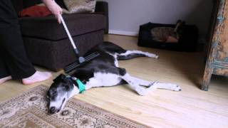 Greyhounds are so lazy - they