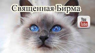 Священная бирма. Бирманская кошка