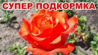 Подкормка для роз, пионов, гладиолусов, хризантем и др. Раскрываем секреты буйного цветения