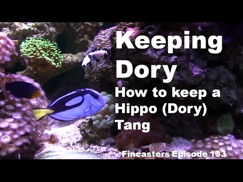 Keeping Dory How To Keep A Hippo Tang Fincasters Episode 133