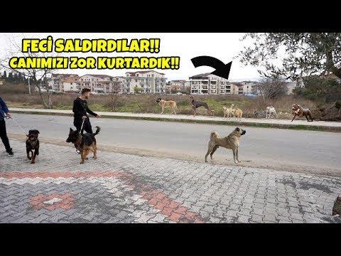 Pitbull , Alman Kurdu Ve Rottweiler İle Sokak Köpeklerinin Saldırsına Uğradık! (