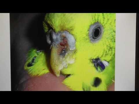 Болезни попугаев / эктопаразиты