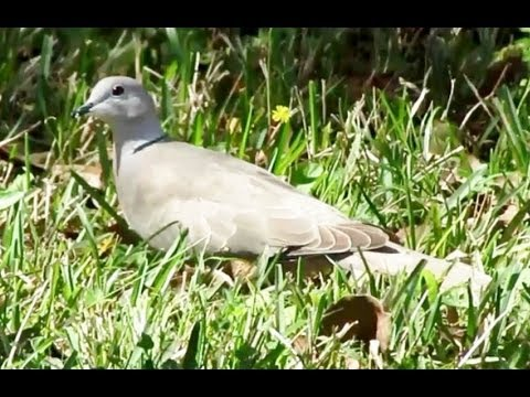 African collared dove vs eurasian collared dove - photo#17