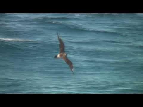 トウゾクカモメ(1)旅鳥または冬鳥(アラスカと大洗~苫小牧航路) - Pomarine