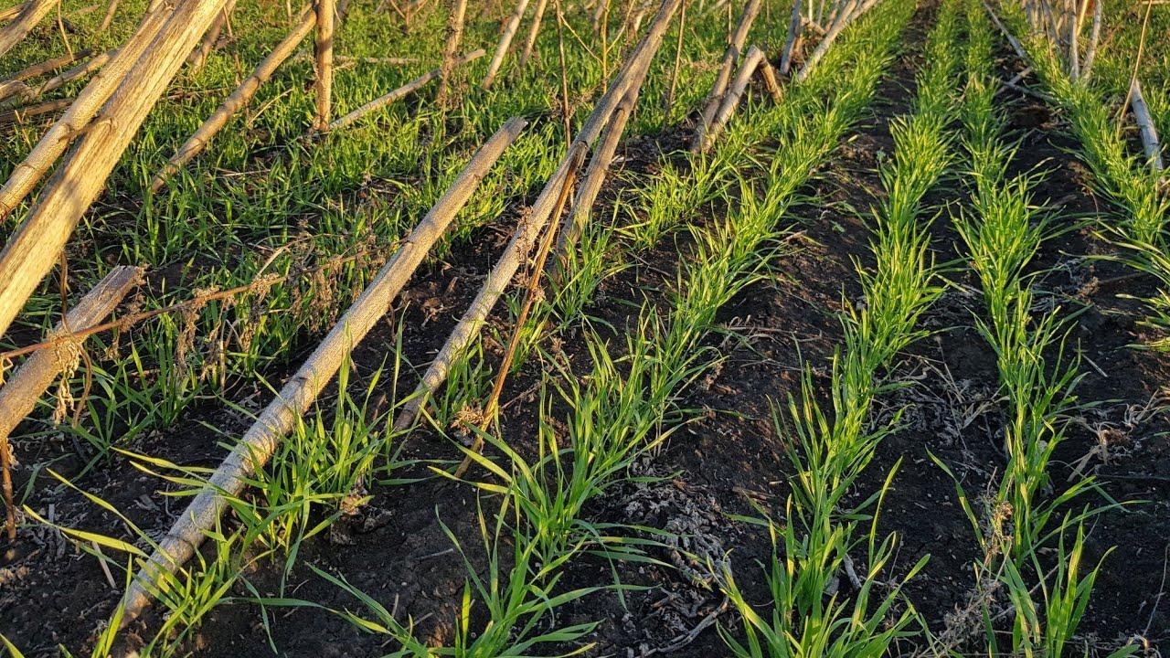 Прямой посев пшеницы по палкам подсолнуха сеялкой от