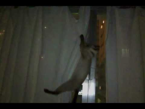 Siamese Alice climbing the curtains