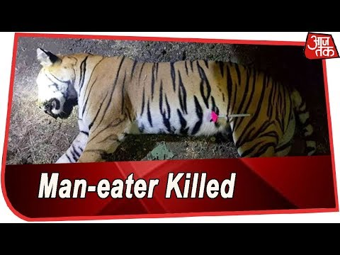 Man-eater Tigress Avni Killed In Yavatmal After Three Month Long Chase