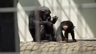 2018年5月29日 釧路市動物園 チンパンジーのファミリー、ゆみのすけ君と...