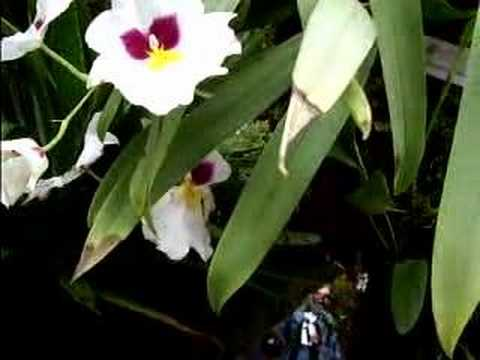 Easy Miltonia Orchid Care Youtube