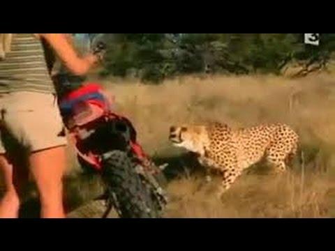 cheetah attack   lion vs cheetah best...