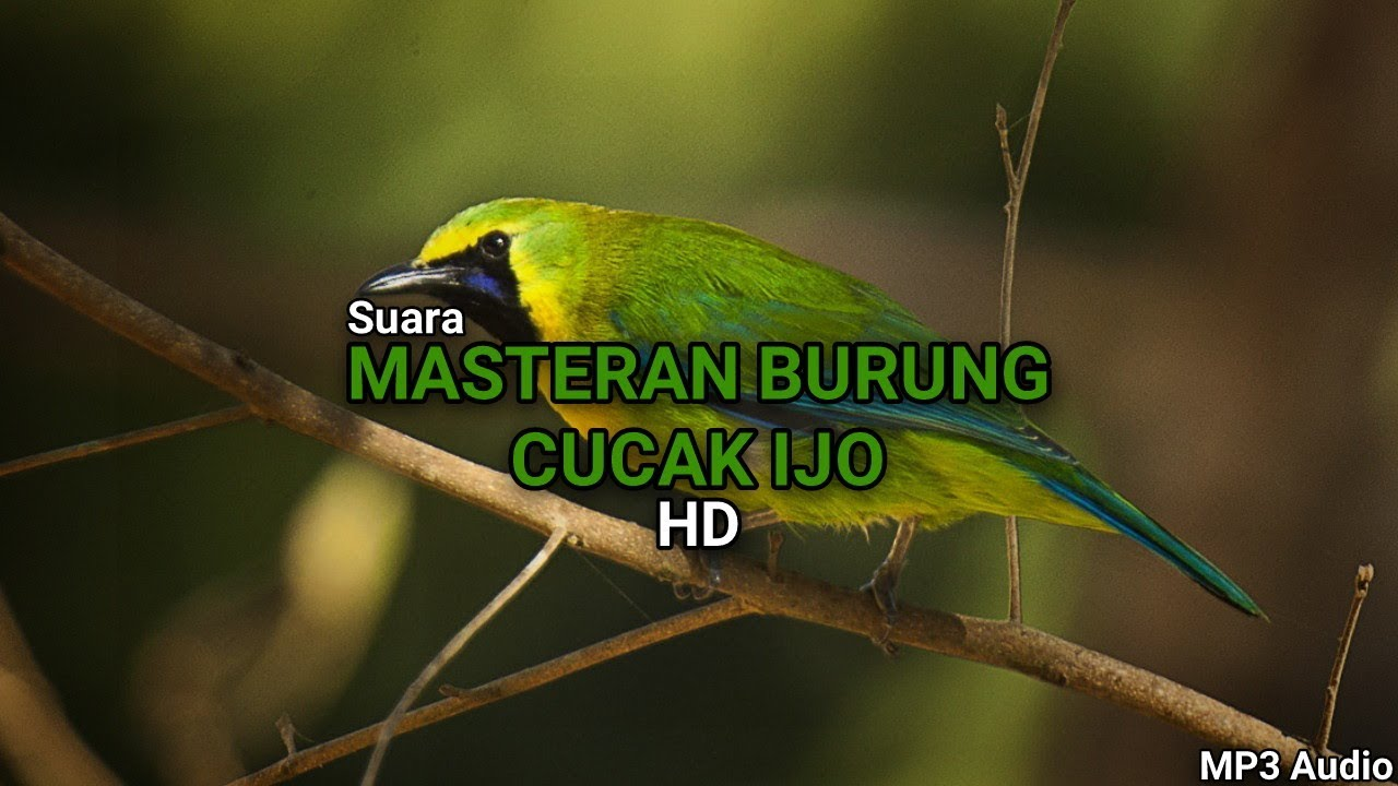 Download Suara Masteran Cucak Ijo MP3