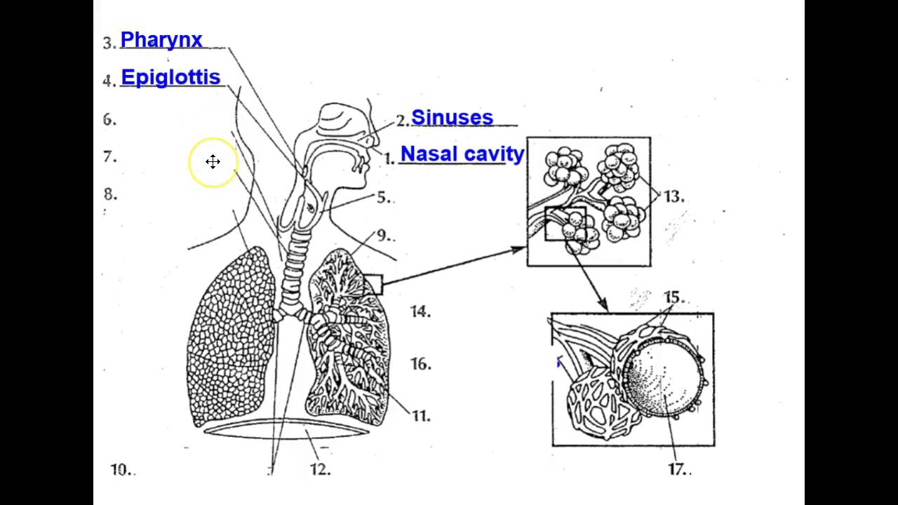 The Human Respiratory System Youtube