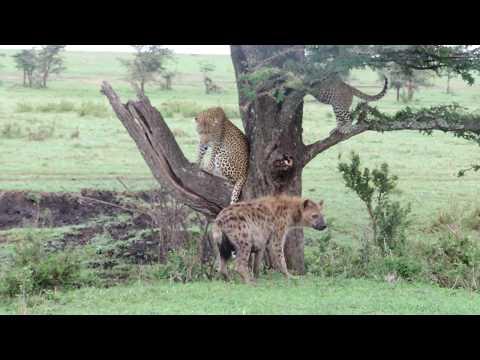 The Leopard & Hyena Story - Masai Mara