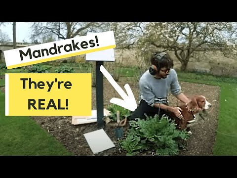 Mandrakes They Are Real And Grown In Oxford Youtube
