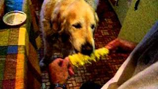 Golden Retriever Expertly Eating Corn On The Cob