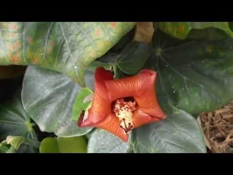 MAJAGUA: Hibiscus elatus (www.riomoros.com)
