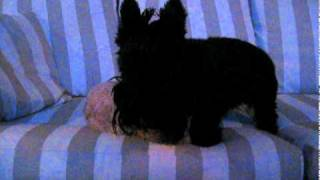 "Scottish Terrier And Poodle ""face-fighting"" On The Couch"