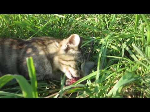 かなり観覧注意!ネズミを食べる母猫