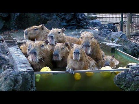次々と温泉からあがるカピバラたち(埼玉県こども動物自然公園) Capybaras' Onsen