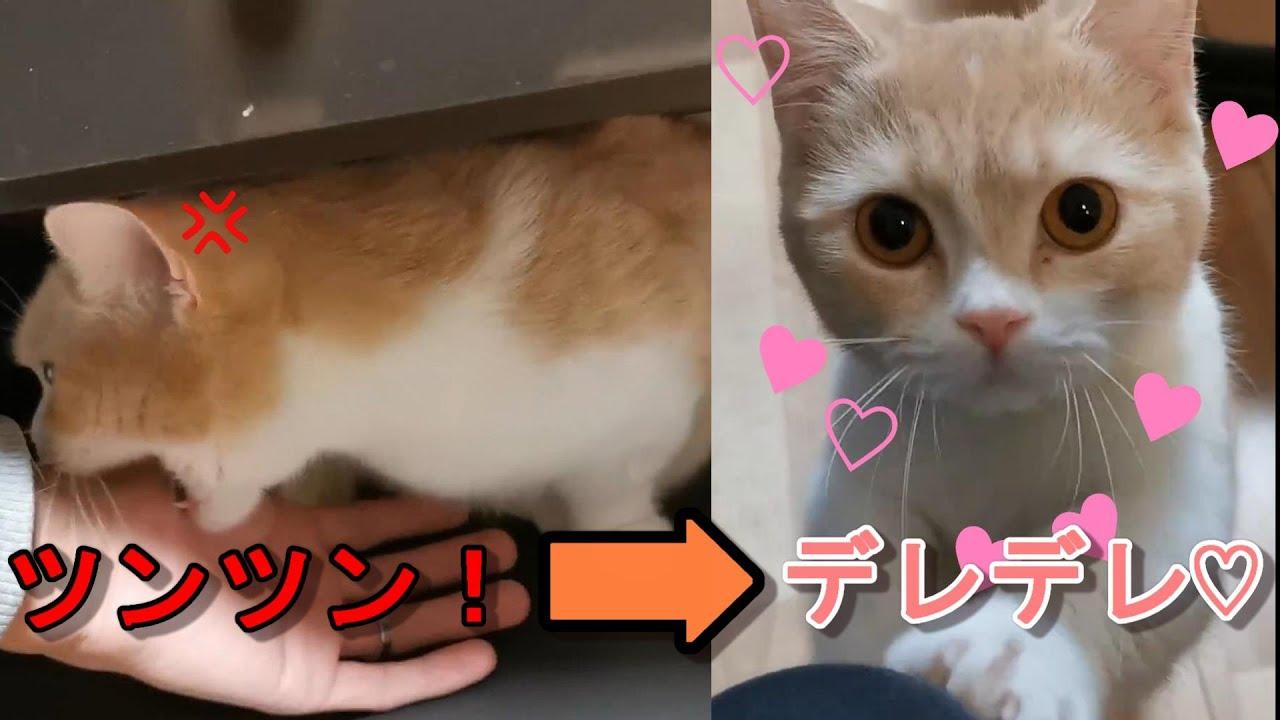 遊んでほしいのに素直になれない超ツンデレ猫【マンチカン】