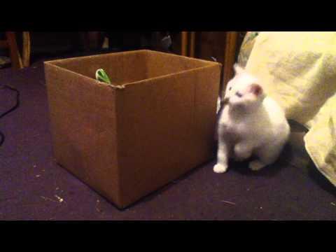 Kitten Jumps Like a Rabbit.