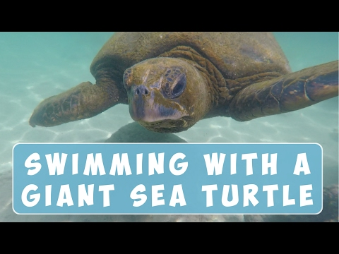 SWIMMING WITH A GIANT SEA TURTLE IN HAWAII 🐢