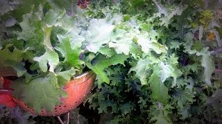 Harvesting Red Russian Kale
