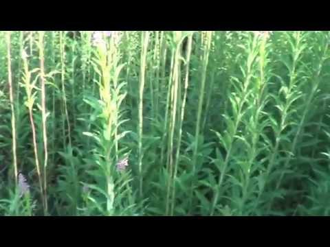 Травяной чай 2 часть. Сбор, заготовка и сушка трав.