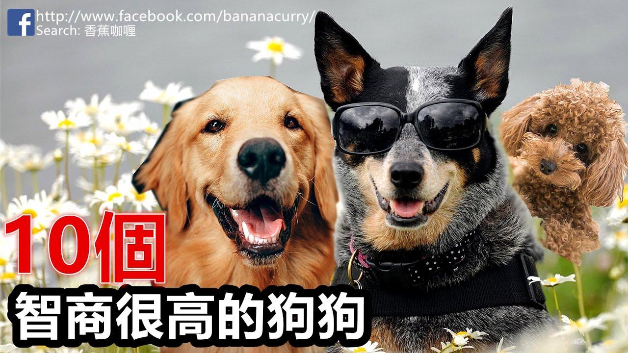 世界十大高智商的狗狗 | 擁有小孩智商的狗狗 你家的愛犬有在裏面嗎?