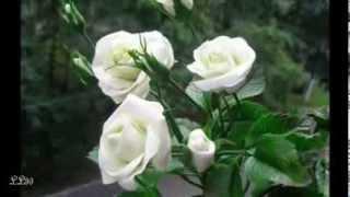 Un milion de trandafiri ,pentru toti prietenii !
