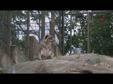 Snow Leopards in Helsinki Zoo (Korkeasaari-Hogholmen), Finland - Снежные Барсы