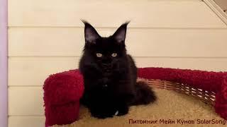 Кошка  Мейн Кун Verona SolarSong, окрас  чёрный солид с белым, 5 месяцев.  Свободна