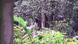 азиатский белохохлый калао  white-crowned hornbill aceros comatus.movie