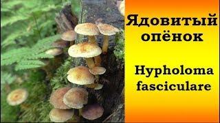 Ядовитый Опёнок  серно-жёлтый - Hypholoma fasciculare