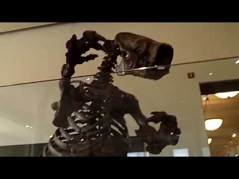 Giant ground sloth Skeleton (American Museum of Natural History)