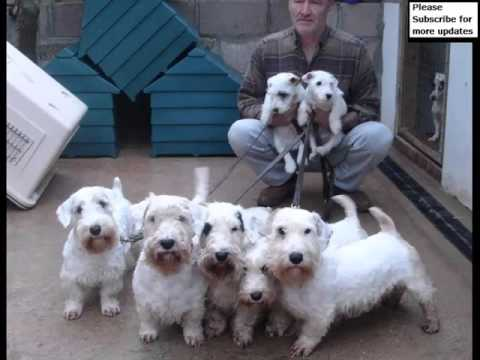 Dog Sealyham Terrier | Picture Collection Of Terrier Dog Breed