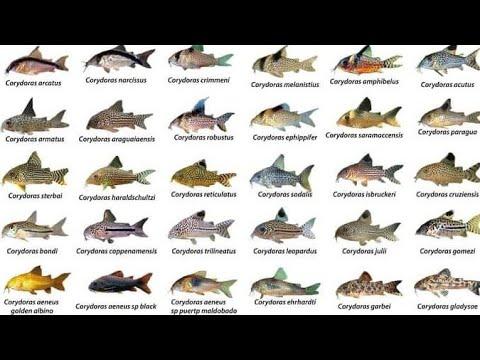Corydoras ID Compilations Part1| Awesome Cory Catfish For Aquarium| Corydoras Collection| Rare Cory
