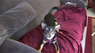 Cute Little Dog Barks And Wags Tail On Couch_pets Playing.6_25