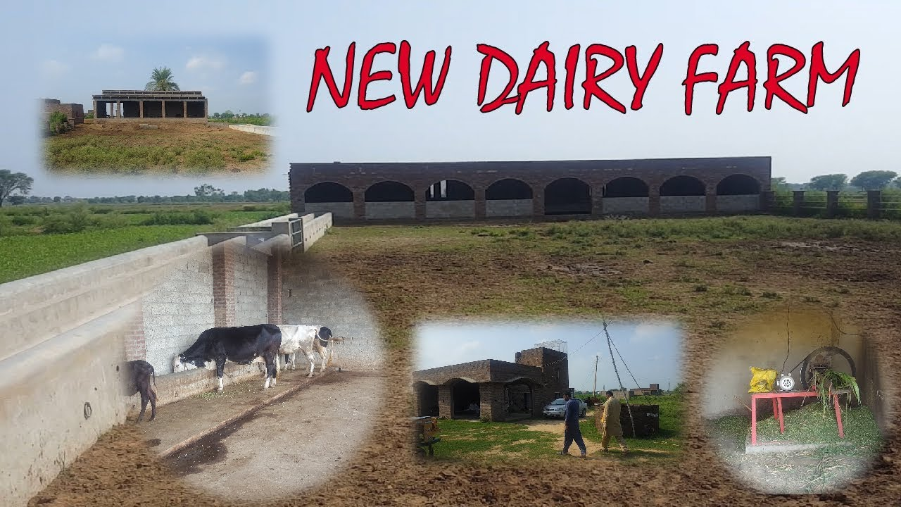 Cow Farming In Pakistan Dairy Farm Shed Design